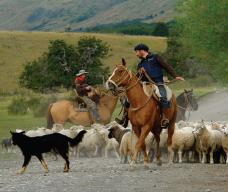 Mustering sheep in Patagonia.