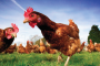 Asda and Lidl make cage-free chicken pledge