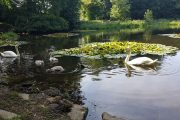 Haverfordwest: Two swans shot dead at Withybush Woods